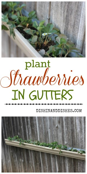 plant strawberries in gutters 2