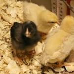 Chicken Diaries Part 1
