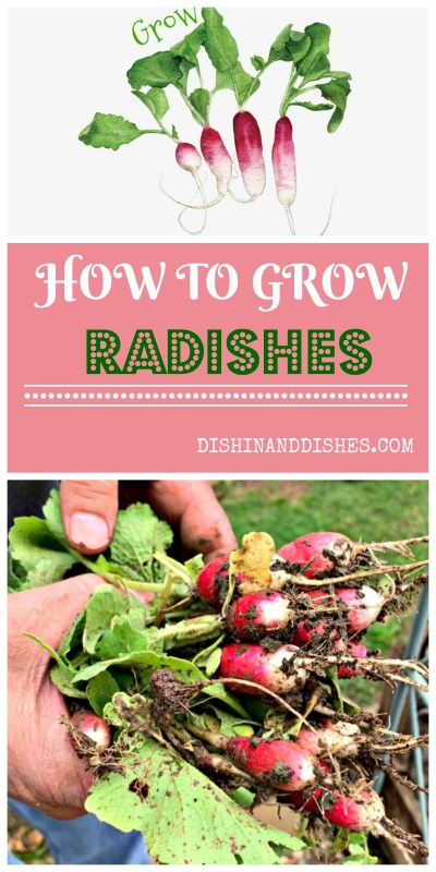 How to Grow Radishes - Dishin & Dishes