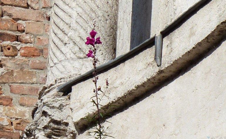 Una bocca di leone sbocciata a Porta Leoni, Verona