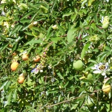 Fiori e frutti della passione