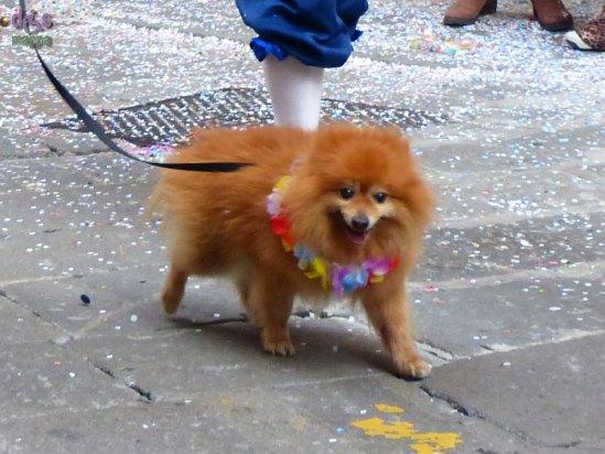 20140228 Cane volpino conte liston carnevale Verona
