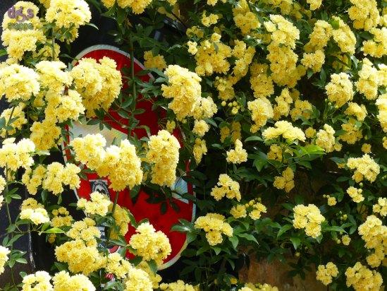 20140406 fiori gialli divieto di accesso Verona