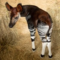 Okapi Calf Disney's Animal Kingdom Lodge Walt Disney World