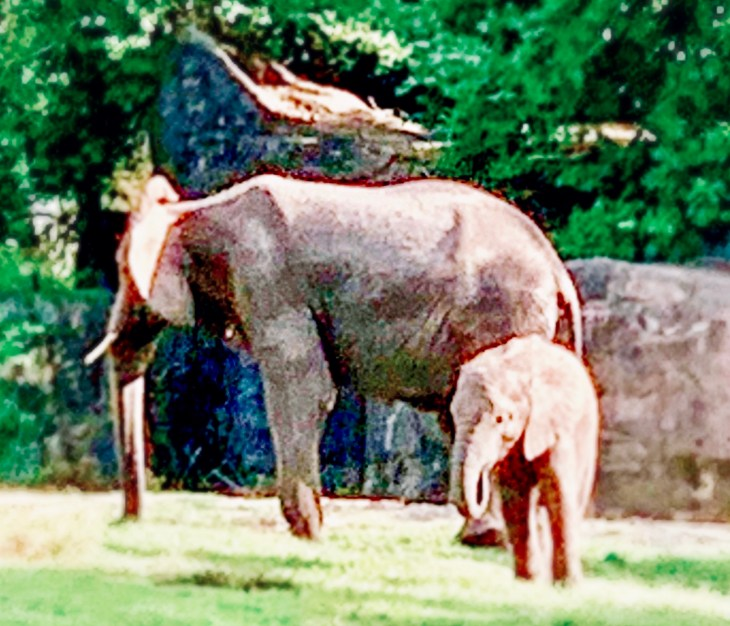 Caring For Giants Disney's Animal Kingdom Walt Disney World Elephants