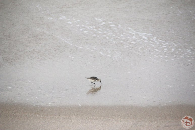 Sandpipers on the beach