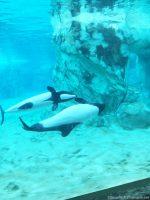 Aquatica - Commerson's Dolphin