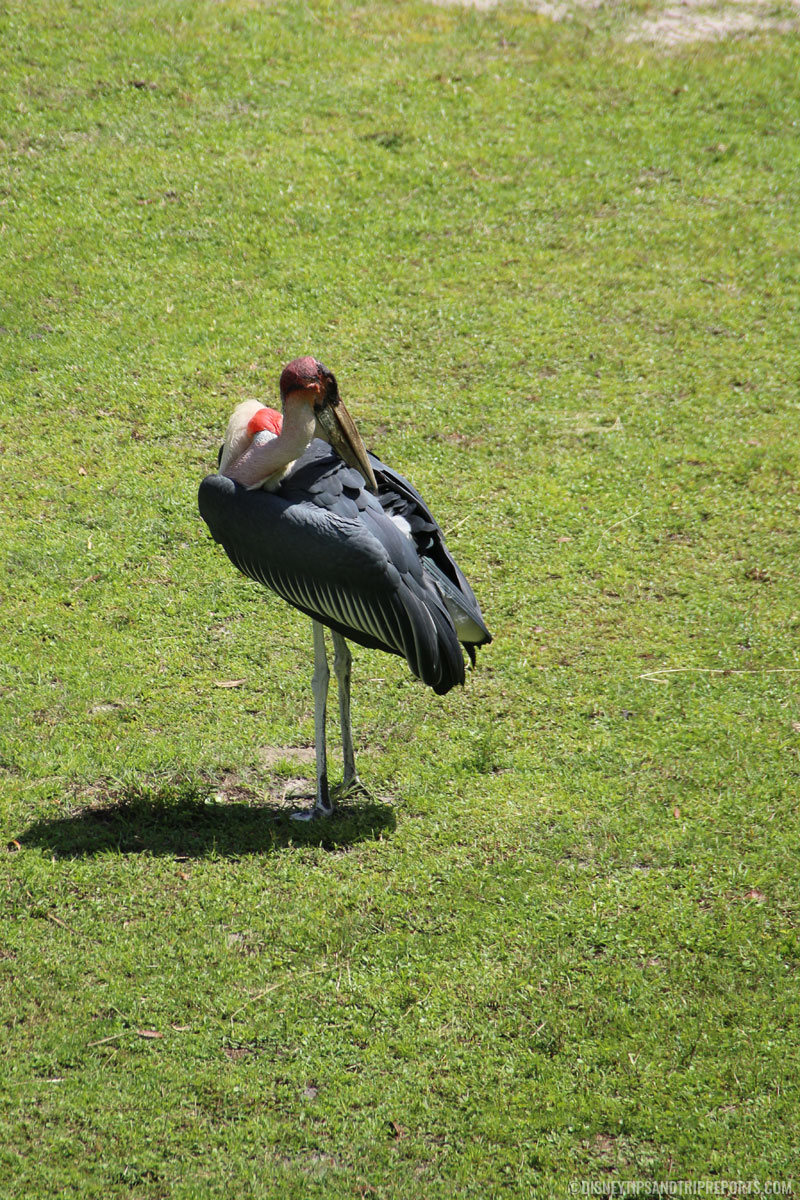 Pink-Backed Pelican - Animal Kingdom Villas - Pembe Savanna