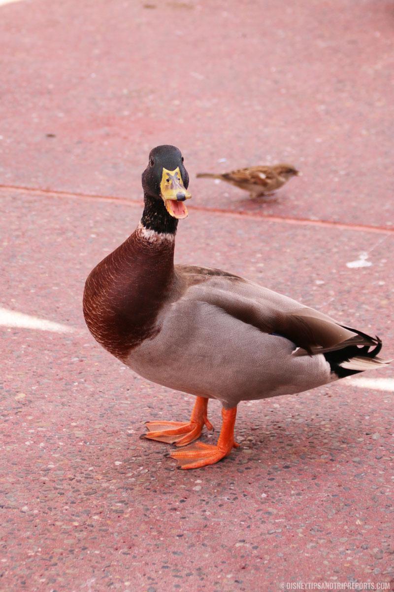 Magic Kingdom - Angry Duck