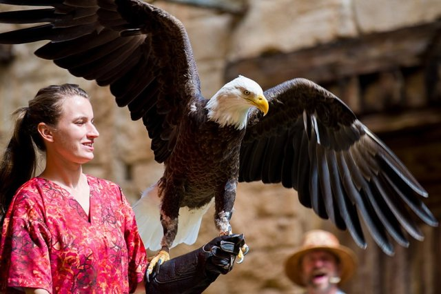 flights-wonder-bald-eagle-disneys-animal-kingdom copy