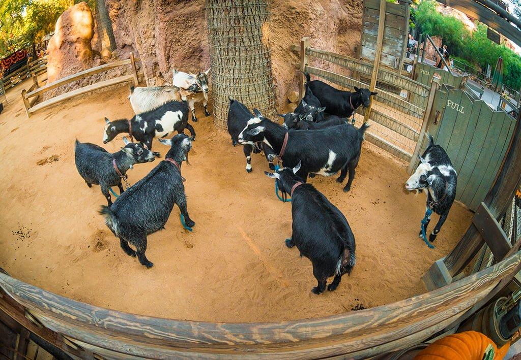 The Ultimate Guide to the Goats of Disneyland - Disney