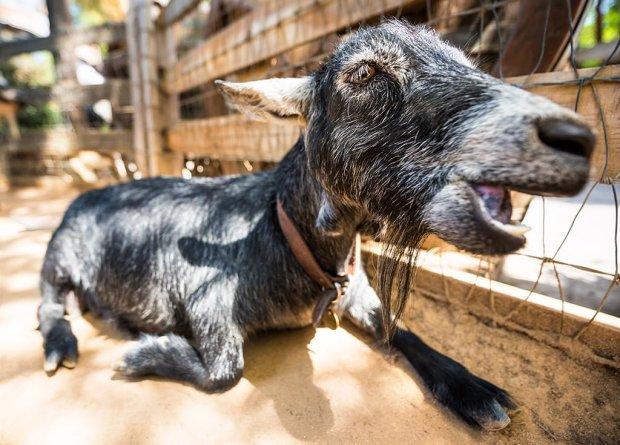 goat-leota-disneyland-yawn