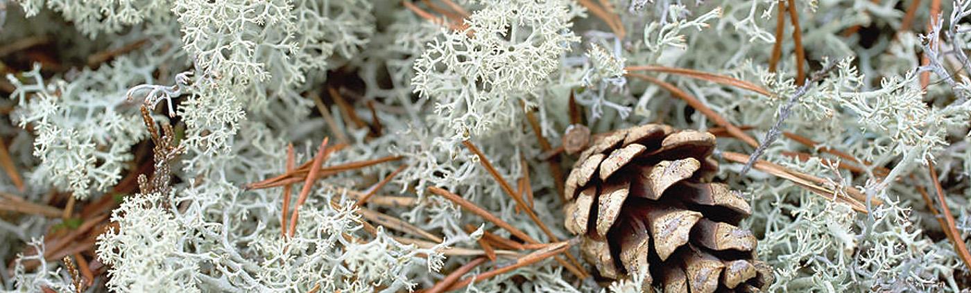 lichen_boréal