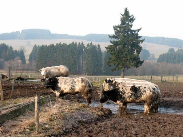 We belandden in een weiland met koeien. Welkom in de Ardennen!