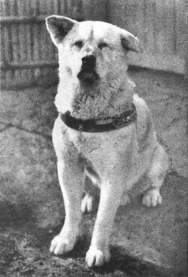 Hachiko honden