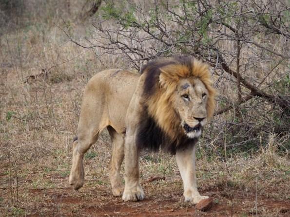 Camp Shonga leeuwen