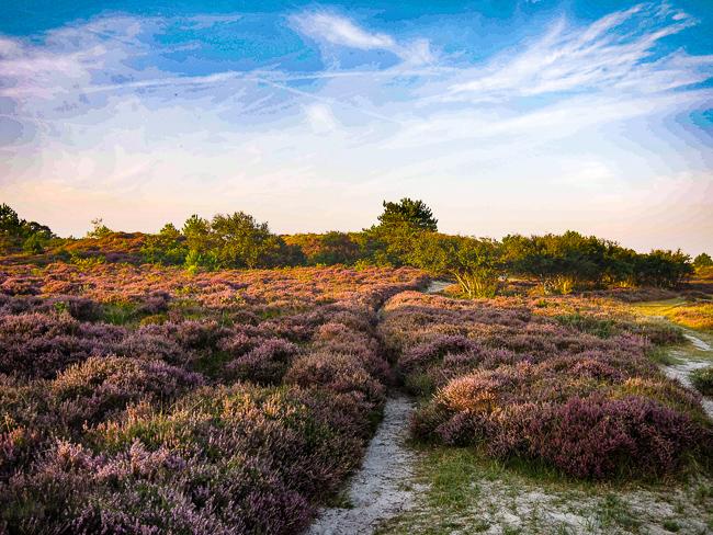 Heide wandelen Schoorlse Duinen herfst