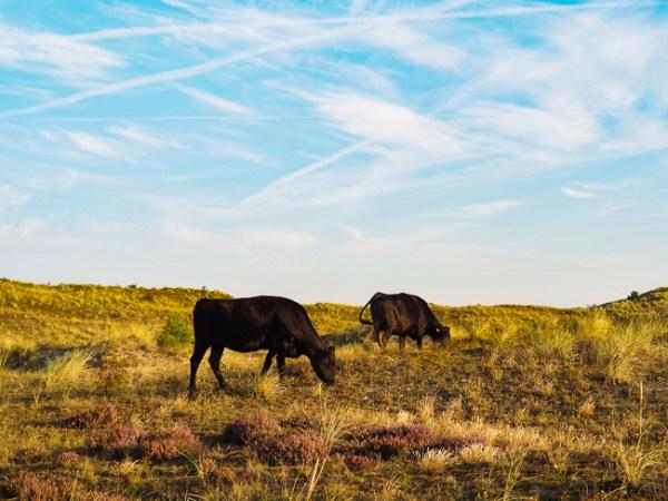 Koeien Schoorlse Duinen