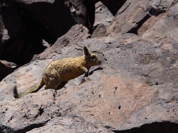 Viscacha Atacama