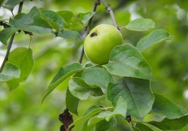 Appelboom tuinontwerp