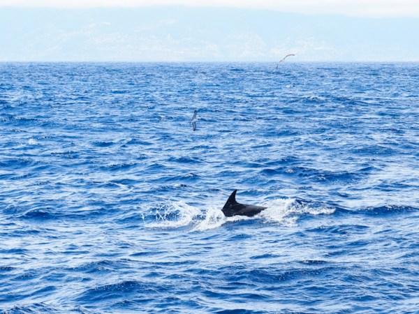 Dolfijn Islas Desertas dagtocht