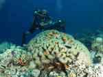 Brain coral red sea aqaba