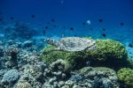 Snorkeling in the Red Sea with green turtle