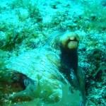 92-caribbean-reef-octopus-mb-website