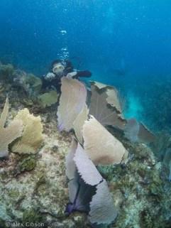 Purple fan corals flapping the swell - Balenatus