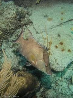Hogfish wrasse - Balenatus