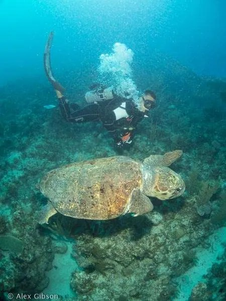 Huge loggerhead turtle