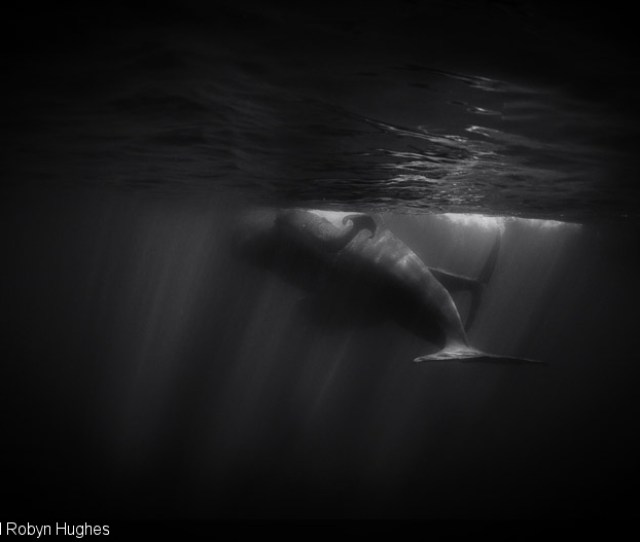 Floppy Flukes Are An Unmistakable Symbol Of A Newborn Sperm Whale In This Instance Only Briefly Silhouetted In The Distance Against Sunlight On An Adults
