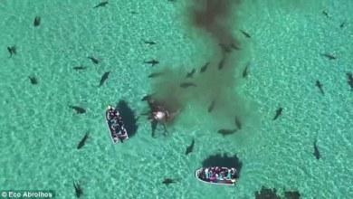 Tiger Shark in Australia