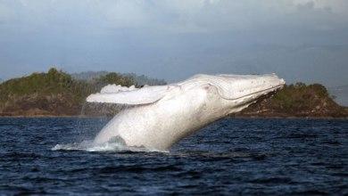 לוויתן לבן
