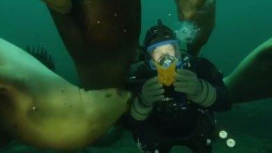 כלב ים מעניק מתנה לצולל