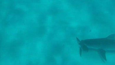 כריש מנסה לנגוס בצב