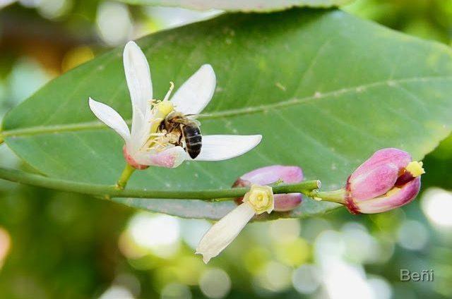 abeja melifera en la flor del limonero