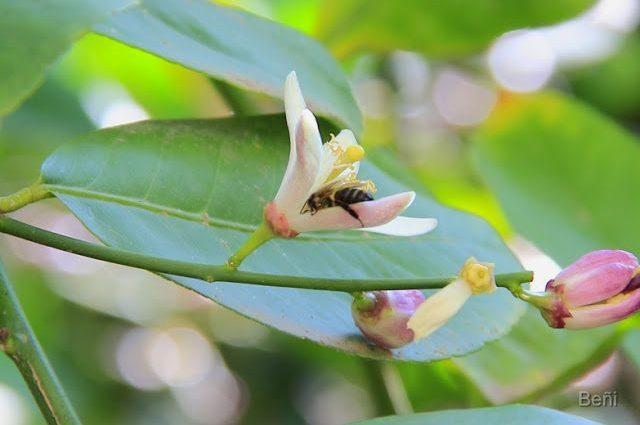 abeja melifera entre los petalos de la flor del limonero