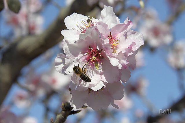abeja melifera recorriendo una flor del almendro