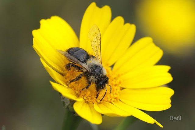 abeja de pelos blancos sobre flor amarilla