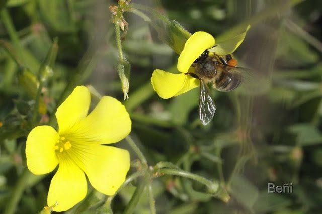 abeja melifera y flores
