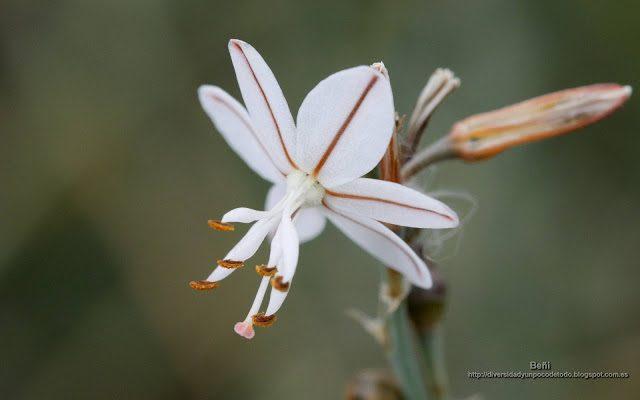 fondo de pantalla o wallpaper flor de asphodelus