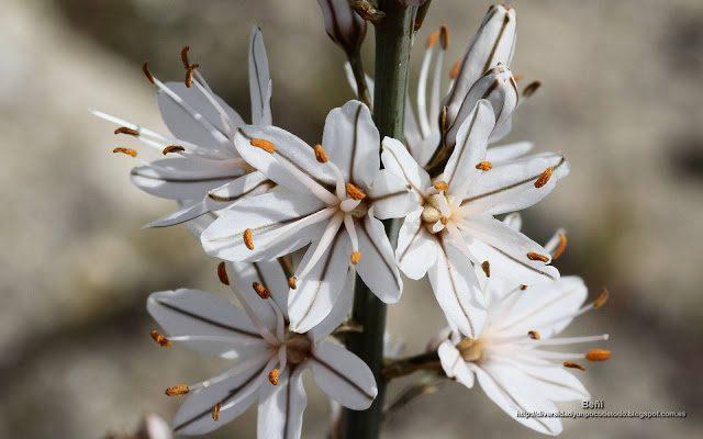 fondo de pantalla o wallpaper flores de asphodelus