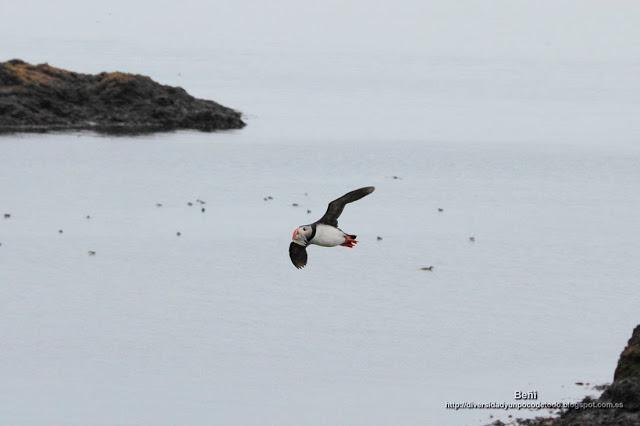 volando el Frailecillo, puffin, Fratercula arctica