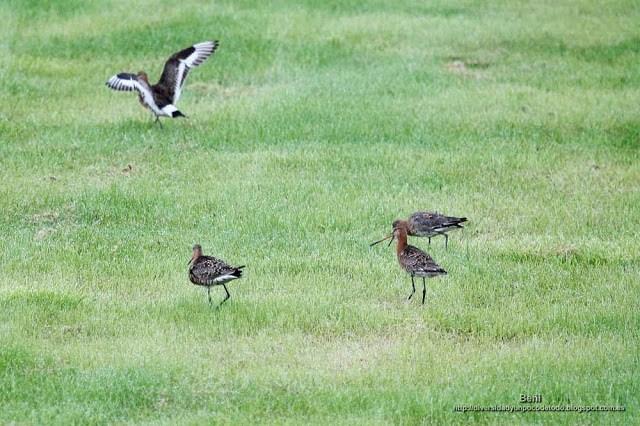 Aguja colinegra, black-tailed godwit, Limosa limosa