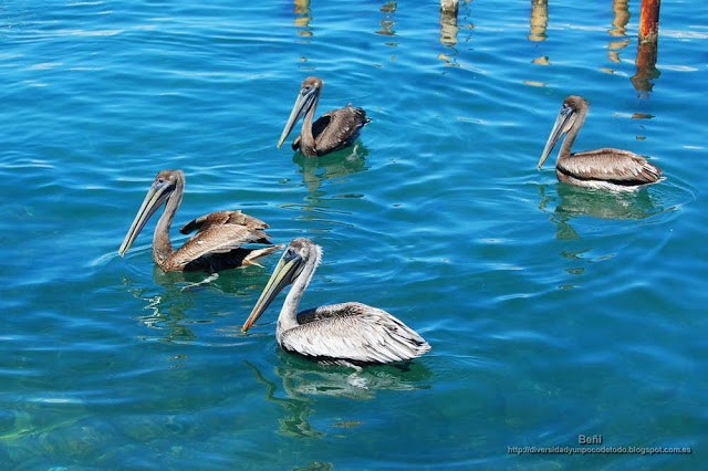 Pelicano pardo del Caribe, brown pelican, Pelecanus occidentalis occidentalis