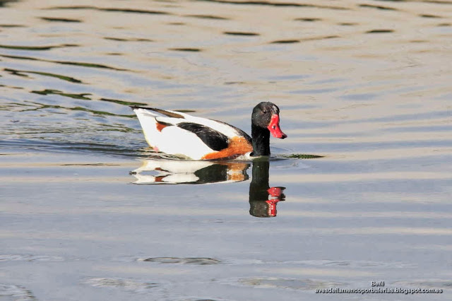 Tarro blanco, common shelduck, Tadorna tadorna