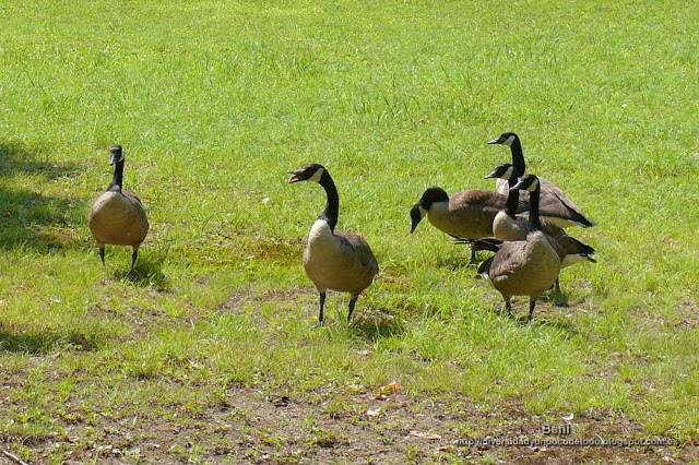 Barnacla canadiense o ganso de canada, canada goose, Branta canadensis