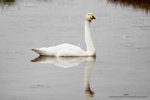 Cisne cantor, Whooper swan, Cygnus cygnus