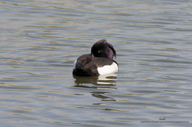 Porron monudo, tufted duck, Aythya fuligula
